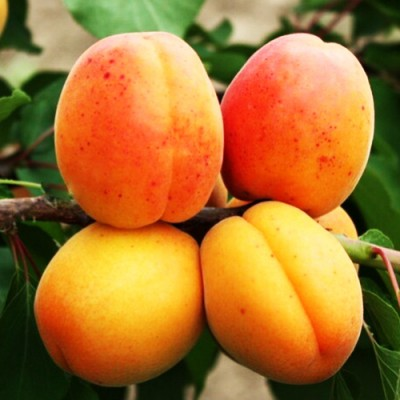 "Саженец абрикоса ""Аврора"""
