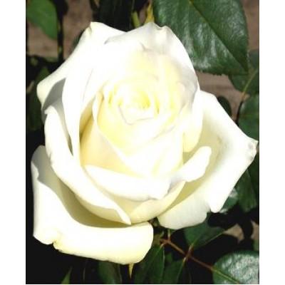"""Саженец розы """"Анастасия"""""""